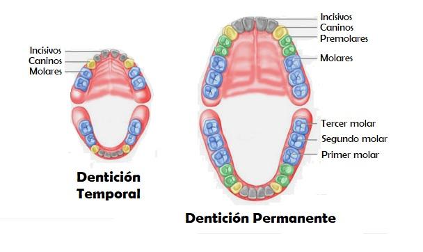 dientes-permanentes-temporales-odontopediatría-niños-dentista